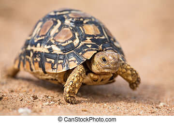 Leopard tortoise walking slowly on sand with protective...
