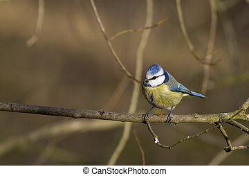 Blue Tit  (Parus caeruleus) closeup perched on a branch