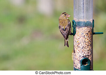 Greenfinch Carduelis chloris perched on the feeder
