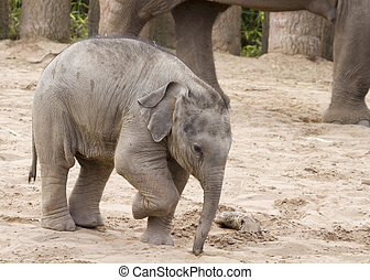 Elephant Baby walking near its mother closeup