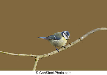 Blue Tit (Parus caeruleus) perched  on a branch