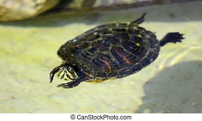 nice turtle - swimming turtle