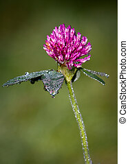 Red Clover Trifolium pratense Trefoil flower close-up