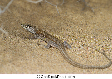 Haria Lizard (Galiotia atlantica) found in Fuerteventura...