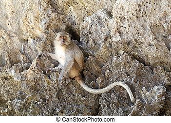 Monkey beach. Crab-eating macaque at Phi-Phi island,...
