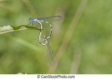 Blue Damselfly mating on a leaf closeup