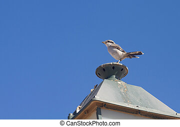 Southern Grey Shrike (Lanius excubitor koenigi) perched