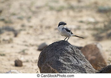 Southern Grey Shrike -Lanius meridionalis standing on a rock