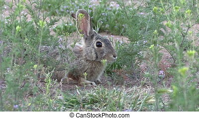 Cottontail Rabbit - a cute cottontail rabbit