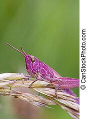 Pink Grasshopper perched on a grass stem closeup