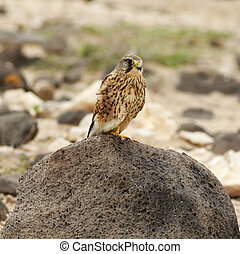 Kestrel Falco tinnunculus Perched on a rock