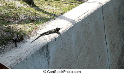 Iguana in the Florida Keys near the seven mile bridge