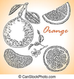Collection of highly detailed hand drawn orange. Vector illustra