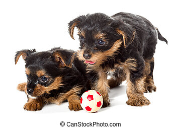 Two little Yorkshire Terrier puppy and ball