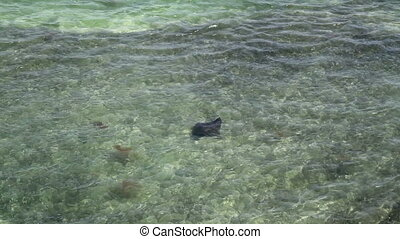 Spotted Eagle Ray in Florida Keys Filmed from the old seven...