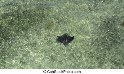 Spotted Eagle Ray Florida Keys - Spotted Eagle Ray in...