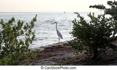 White Heron bird Florida Keys