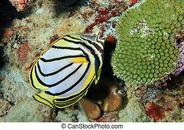 Meyerrsquo;s Butterflyfish - Meyer's Butterflyfish...