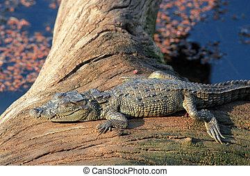 Baby Crocodile Sunbathing - Baby Mugger Crocodile...