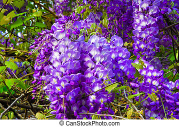 Wisteria - A Flowering Wisteria Plant during Spring