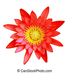 lotus flower - red lotus flower isolated on white background