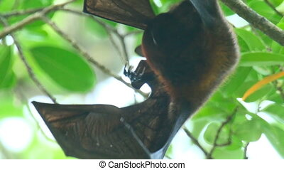 Flying fox - Lyles flying fox Pteropus lylei washes, licking...