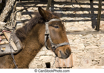 Donkey - Pack donkey in village Leshten situated in mountain...
