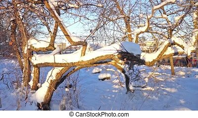 Crooked Tree Without Leaves in a Sunny Winter Day, Slider Shot