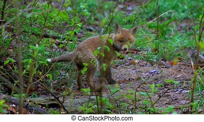 fox puppies in springtime