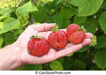 Three strawberries in hand - Fresh picked strawberries held...