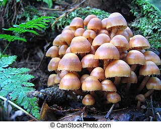 Cluster of fungus - Mushrooms growing on a mossy forest log