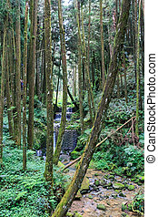 Alishan Forest - Forest landscape at Alishan national park,...