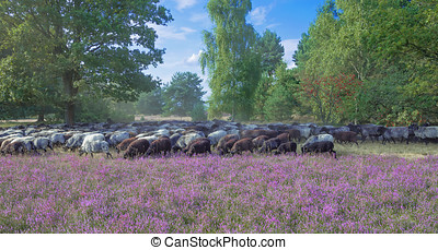 Flock of Moorland Sheep,Germany - Flock of Moorland Sheep...