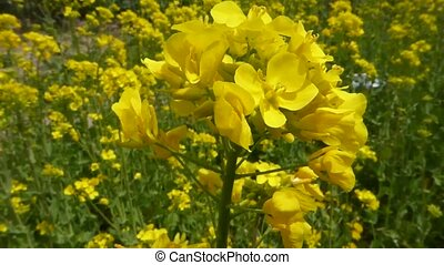 yellow rape flowers, rapeseed in the spring - Video of a...