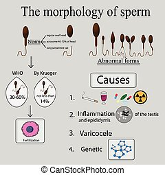 Infographics sperm morphology. Sperm morphology norms....