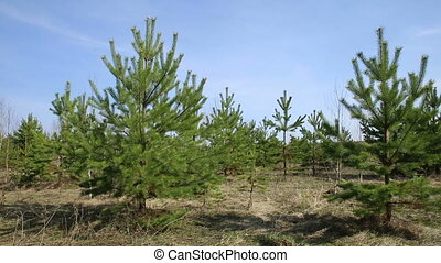 Small pines sway in the wind - little green pine trees sway...