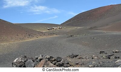 Caravan of camels in the desert on Lanzarote in the Canary...