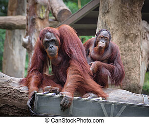 Adult orangutans sitting with serious and thoughtful faces
