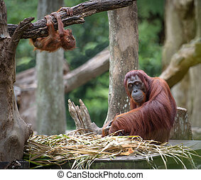 Tired mother orangutang sleeping while its baby playing...