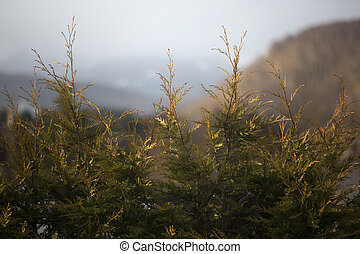 Fir trees in a Scottish Valley