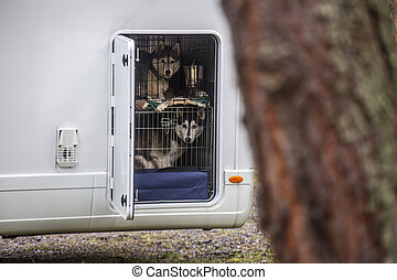 Huskeys in a dog cage - A shot of Huskeys in a dog cage