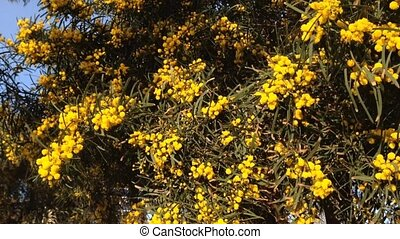 yellow Mimosa close up in sunlight, symbol of the early...