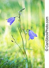 Bluebell bellflower - Close up of Bluebell bellflower,...