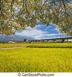 Landscape of paddy farm under blue sky in Hualien