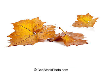 Fall leaves on a white background - Yellow fall leaves on a...