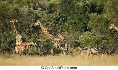 Giraffes and zebras in natural habi - Giraffes (Giraffa...