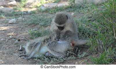 Grooming vervet monkeys - Vervet monkey (Cercopithecus...