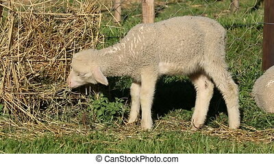 Merino sheep lamb - Small merino sheep lamb in a paddock
