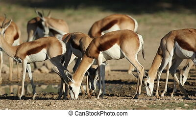 Springbok antelopes at waterhole - Springbok antelopes...