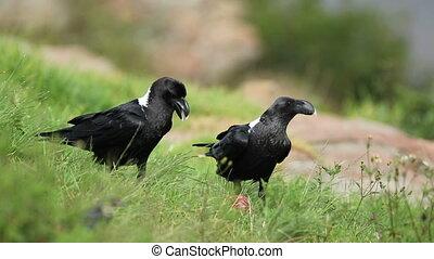 White-necked ravens feeding - White-necked ravens (Corvus...